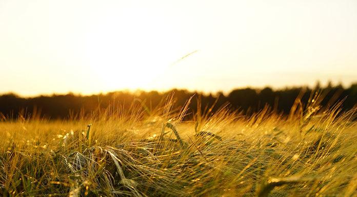 Zabiegi fungicydowe w obrębie zbóż ozimych
